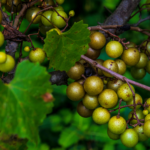 You'll Never Forget Your First Scuppernong