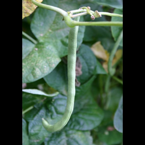 For bountiful beans, plant in warm soil