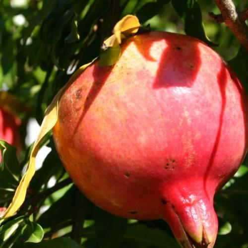 It's easy to propagate pomegranate