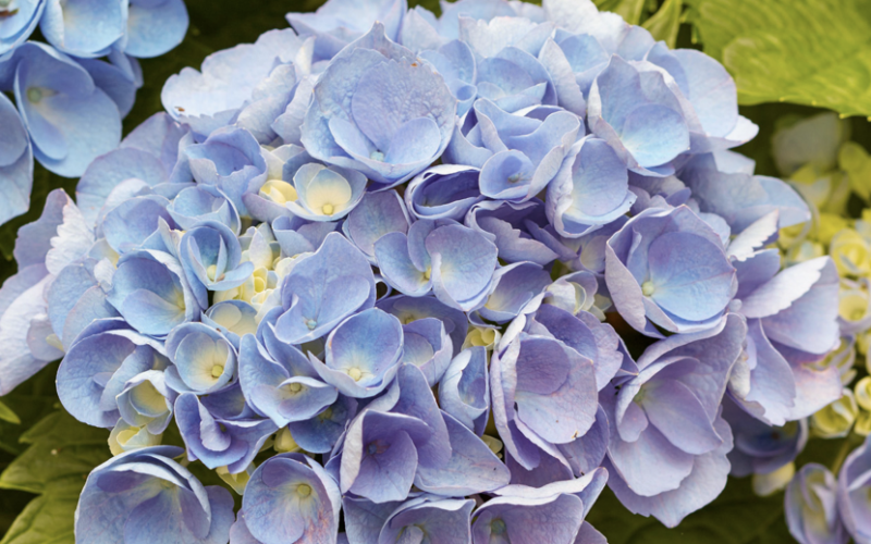 3 Tricks to Try with Your Hydrangeas to Get the Most Out of These Gorgeous