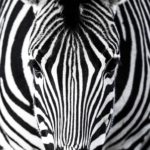 CNT Photo of the Day July 15, 2021 ZEBRA!