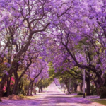 CNT Photo of the Day July 29, 2021 Jacaranda in Bloom