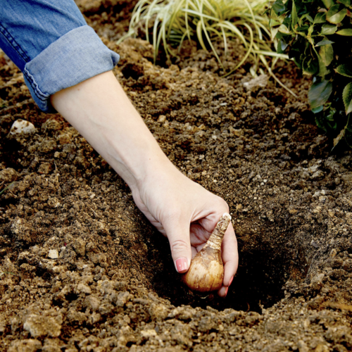 Fall is the Best Time to Plant Spring-Blooming Bulbs: Here's How