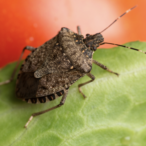 How to Prevent Brown Marmorated Stink Bugs From Taking Over Your House